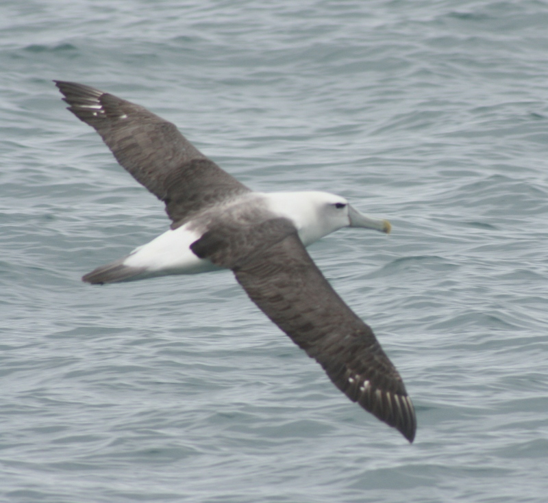 A white-capped albatross.