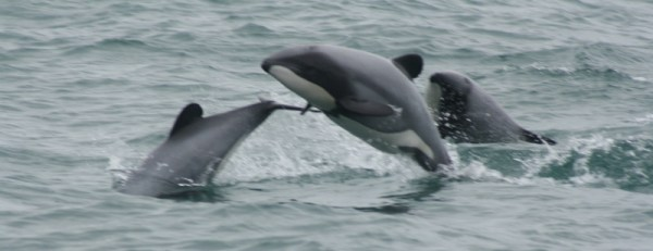 Hectors dolphins.