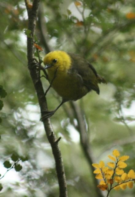A Mohua or Yellowhead.