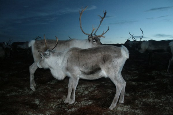 On the hill to see the reindeer
