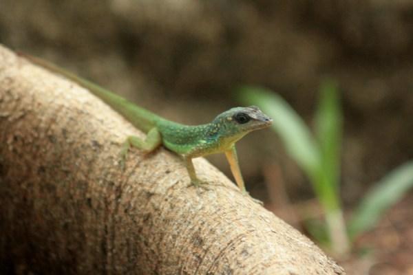 A Barbados Anole lizard.