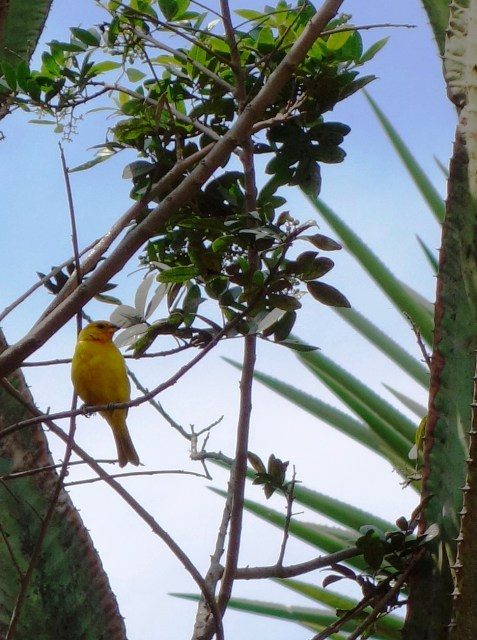 A lovely yellow finch