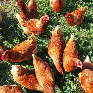 hens pecking in a green pasture