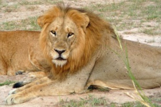P1000516 - Lion