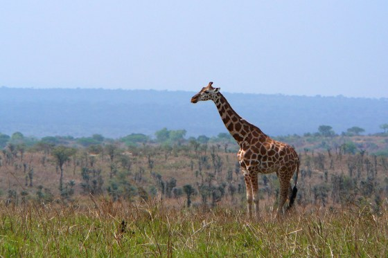 P1000540 - Giraffe on ridge-1