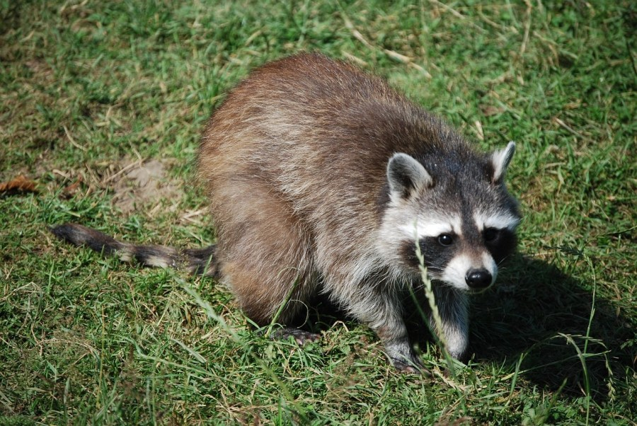 raccoon on grass