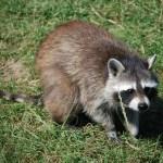 raccoon 1