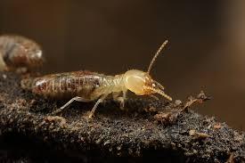 termite on wood