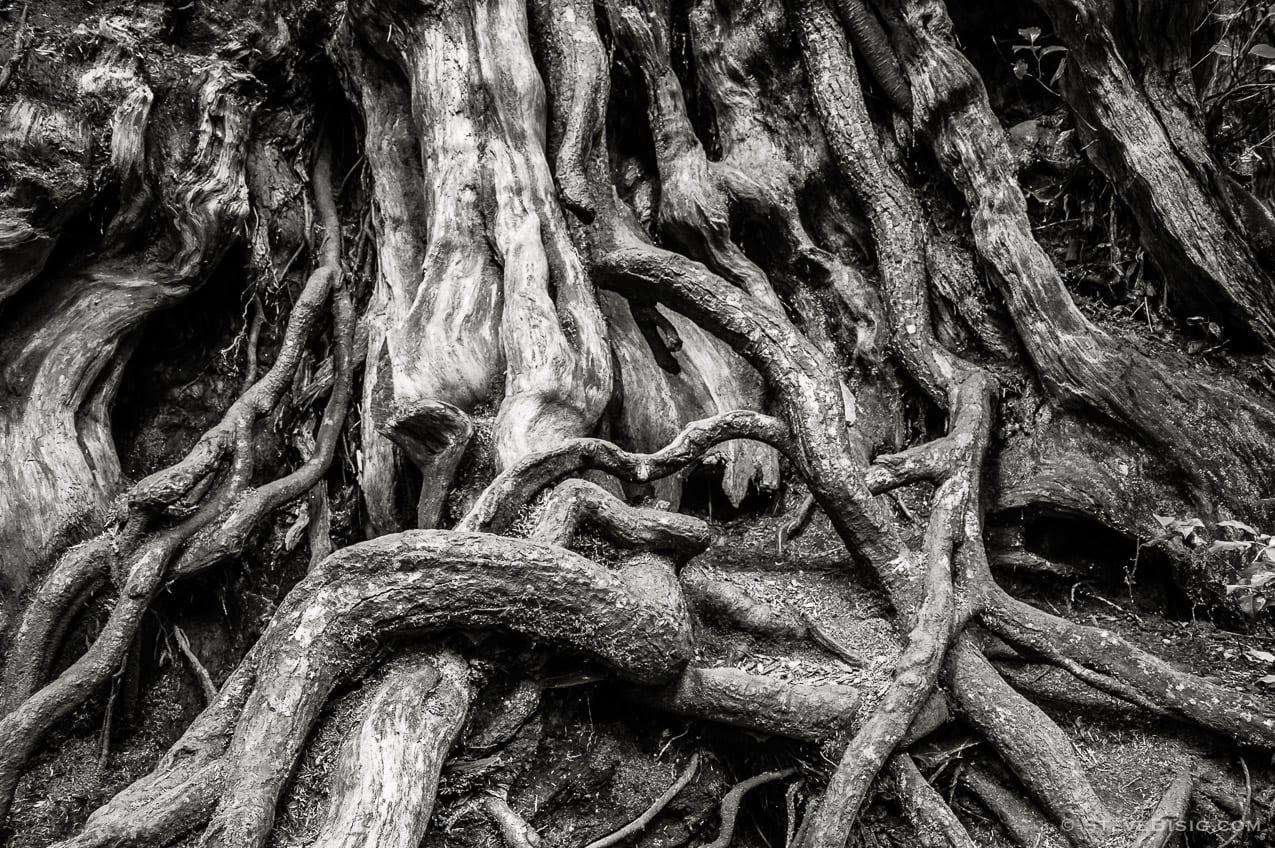 Photography Project: Kalaloch Big Cedar, Olympic National Park Washington, 2013