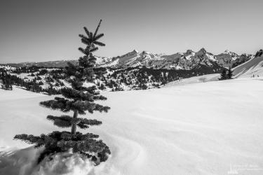 A black and white landscape photograph of the tip of a tree poking through the snow near Paradise at Mount Rainier National Park, Washington.
