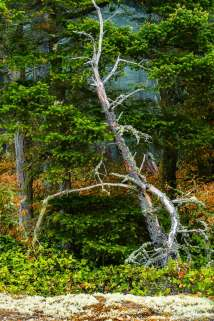 A photograph of a dead snag standing on the edge of the forest on a misty summer morning at Deception Pass State Park, Washington.