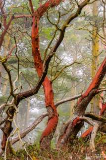 A nature photograph of madrona trees on a foggy summer morning at Deception Pass State Park, Washington.