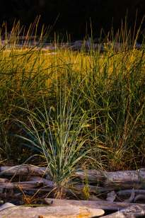 A nature photograph of beach grass in the morning light at Penn Cove Park on Whidbey Island, Washington.