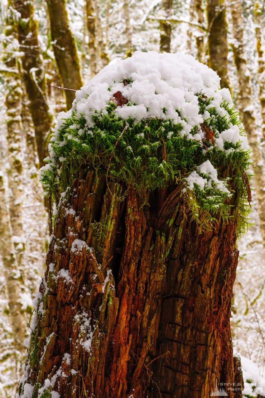 Snow Covered Stump, Rasar State Park, Washington, 2016