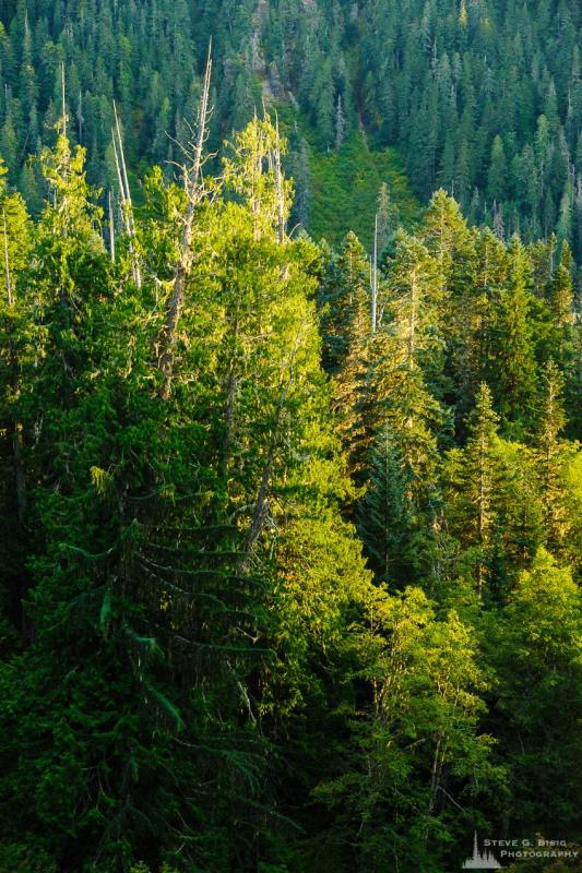 A nature photograph of the day's last light shining on the forest as viewed from near the Cowlitz Horse Camp off of Forest Road 45 in the Gifford Pinchot National Forest in Lewis County, Washington.