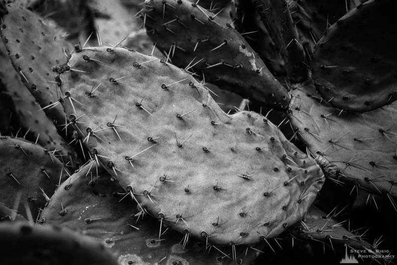 A black and white nature photograph of cactus at the Los Angeles County Arboretum, California.