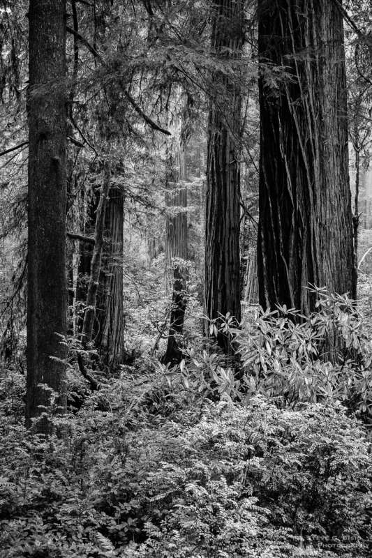 A black and white landscape photograph of the redwood forest along US101 in the Del Norte Redwood State Forest, California.
