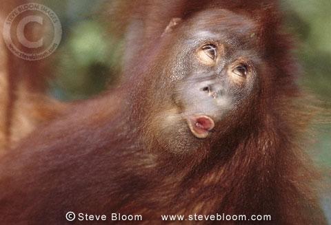 Young Bornean orangutan swinging through the trees Borneo