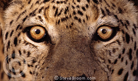 African leopards eyes Namibia