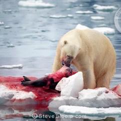Polar Bear Diagram 2007 Gmc Sierra Radio Wiring Feeding On Seal At Monaco Glacier, Svalbard, Norway