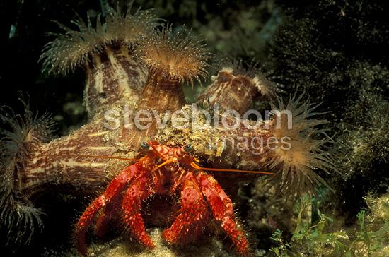 Hermit Crab Under A Sea Anemone Mediterranean Sea