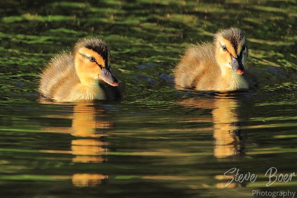 Two young mallards