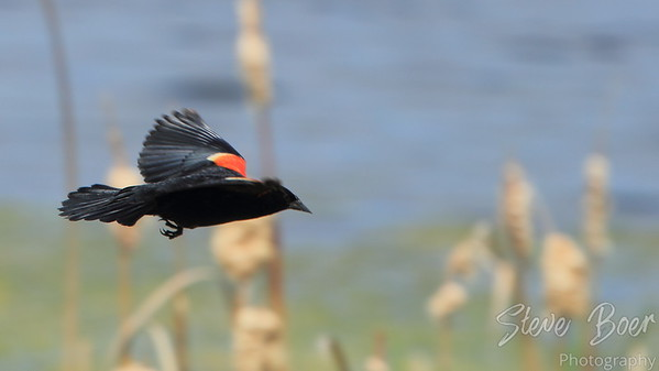 Red-wing blackbird in flight
