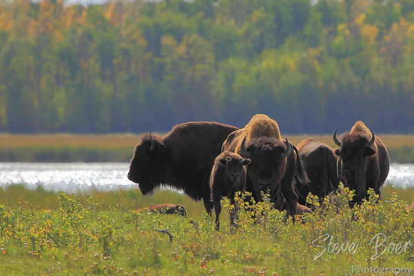 Bison in autumn