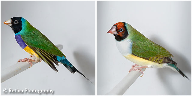 Gouldian Finches on Perch in Cage 03