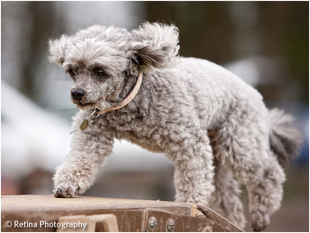 Dog Agility Poodle On Long Beam