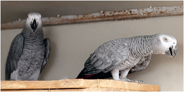 Hand Reared African Grey Parrot Parents Of Chicks