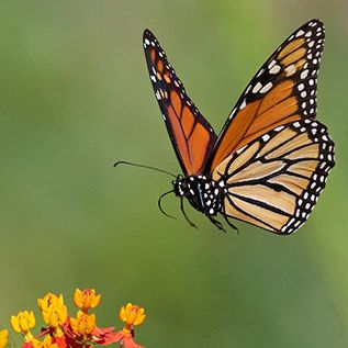 Monarch Butterfly, on Web Site for Steve Kaye, Professional Speaker and Photographer