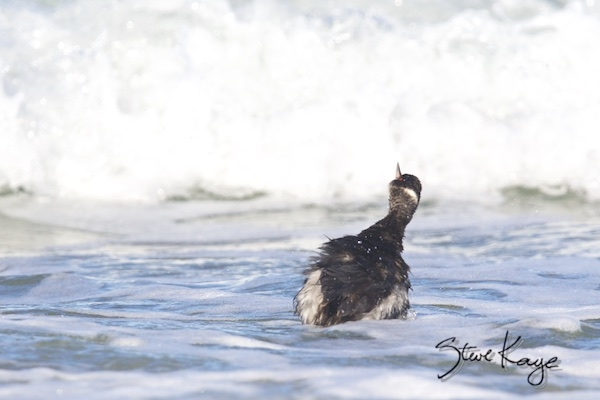 Eared Grebe, (c) Photo by Steve Kaye