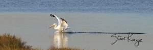 American White Pelican Landing, (c) Photo by Steve Kaye
