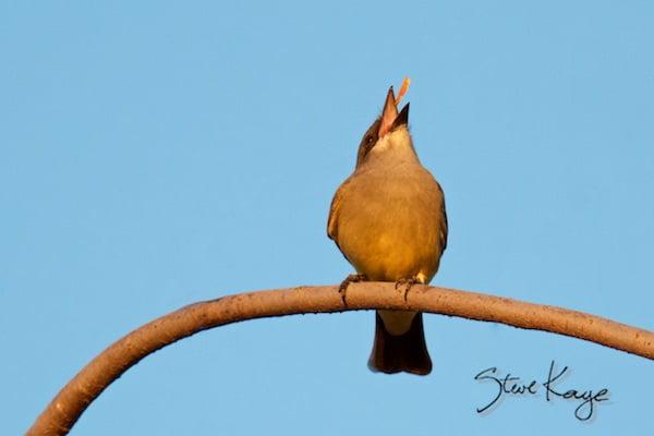 Cassin's Kingbird, Playing, (c) Photo by Steve Kaye