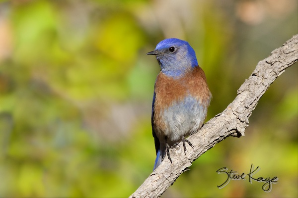 Western Bluebird, Male, (c) Photo by Steve Kaye