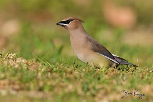 Cedar Waxwing, (c) Photo by Steve Kaye