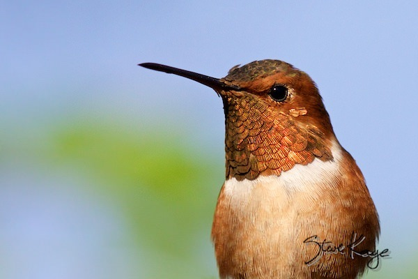 Allen's Hummingbird, Male, (c) Photo by Steve Kaye, in Post: This Is a Hummingbird