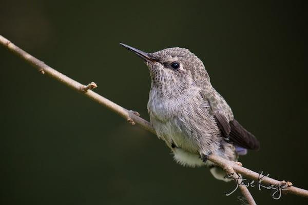Anna's Hummingbird, Juvenile, (c) Photo by Steve Kaye, in photo article: Hummingbird Photos
