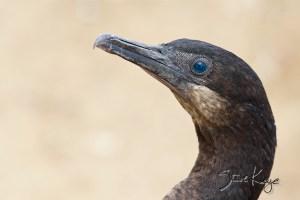 Brandt's Cormorant, (c) Photo by Steve Kaye