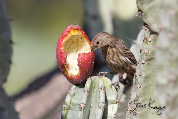 House Finch, Female, Eating Cactus Fruit, (c) Photo by Steve Kaye