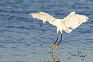 Snowy Egret Landing, (c) Photo by Steve Kaye