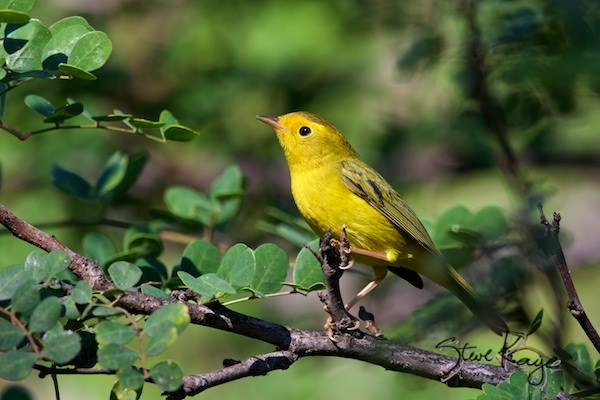 Wilson's Warbler, Female, (c) Photo by Steve Kaye, in post: Word from the Woods