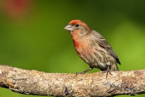 House Finch, Male, (c) Photo by Steve Kaye