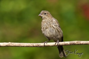 House Finch, Female, (c) Photo by Steve Kaye