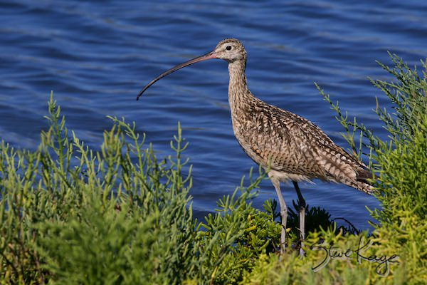 Long-billed Curlew, (c) Photo by Steve Kaye, in photo article: Watchlist Birds