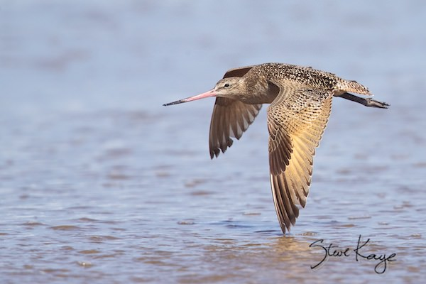 Marbled Godwit, (c) Photo by Steve Kaye, in photo article: Watchlist Birds