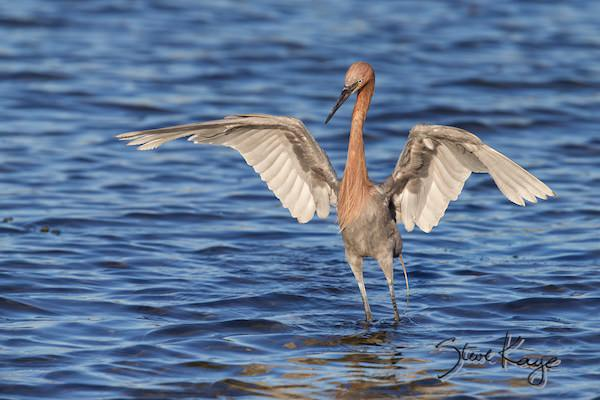 Reddish Egret, (c) Photo by Steve Kaye, in photo article: Watchlist Birds