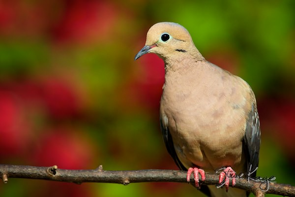 Mourning Dove, © Photo by Steve Kaye, in blog post: Business Experts