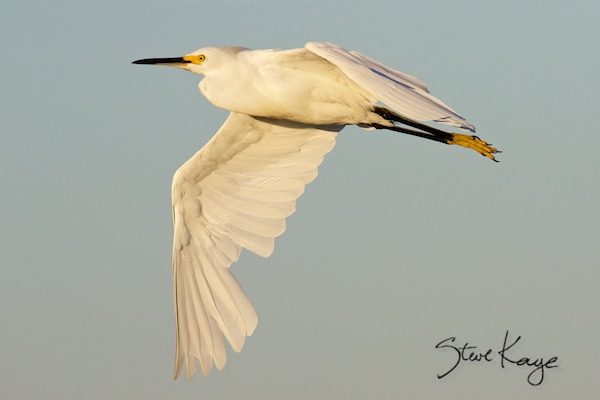 Snowy Egret, © Photo by Steve Kaye, in blog post Don't cry for me Audubon